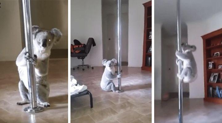 Κοάλα εισέβαλε σε σπίτι και έκανε Pole Dancing!